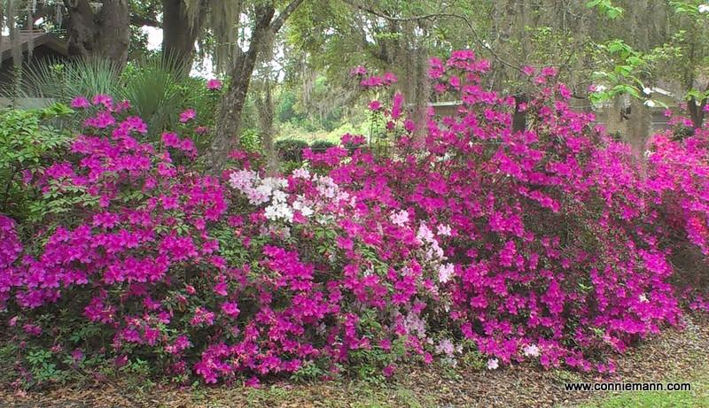 Gorgeous azalea hedge