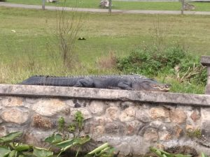 Large alligator sunning himself along the seawall at Silver Springs