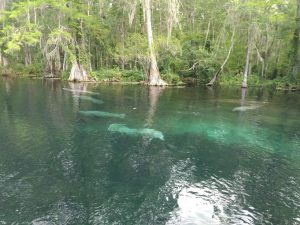 Manatees in the Silver River