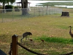 Sandhill crane family out for a walk